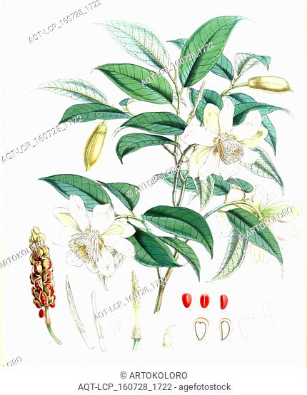 Michelia Cathcartii, H.f. et T., Fitch, W. H. (Walter Hood) (1817-1892), (Engraver), Hooker, Joseph Dalton, Sir (1817-1911), (Author), 1855