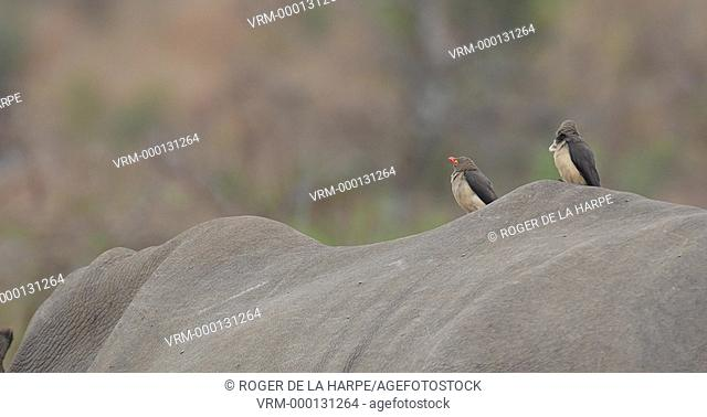 Red-billed oxpecker (Buphagus erythrorhynchus) on the back of a White Rhinoceros or Square-lipped Rhinoceros or rhino(Ceratotherium simum)