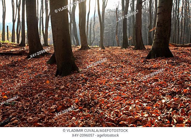 Beech forest on the slopes of mountain Zaruby, Male Karpaty, Slovakia