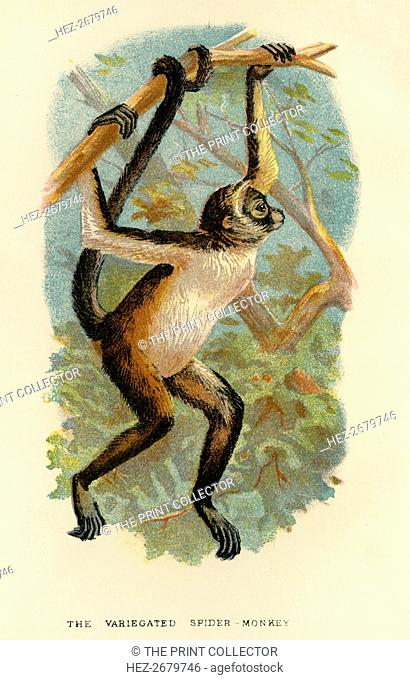 'The Variegated Spider-Monkey', 1896. Artist: Henry Ogg Forbes