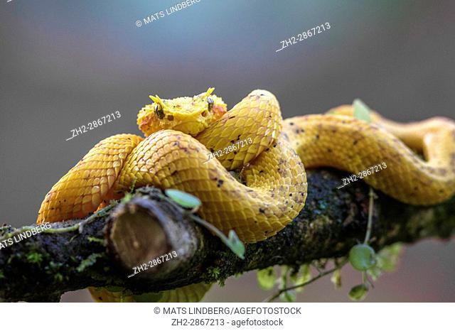 Eyelash viper, Bothriechis schlegelii lying on a tree bransch, looking in to the camera at Laguna del Lagarto, Boca Tapada, San Carlos, Costa Rica