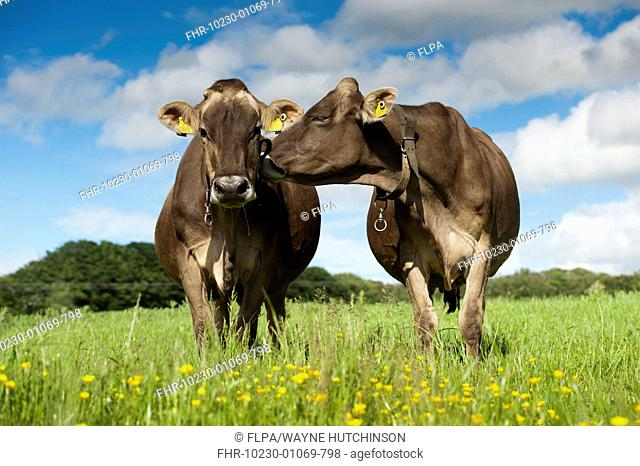 Domestic Cattle, Brown Swiss dairy cows, standing in pasture with buttercups, Dumfries, Dumfries and Galloway, Scotland, June