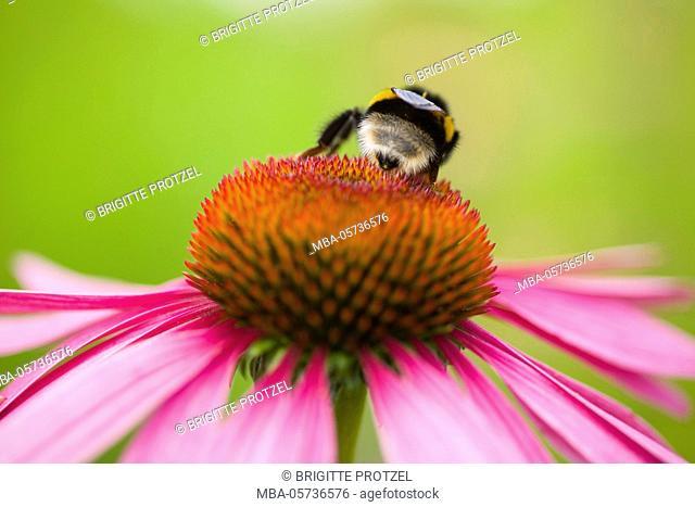 Bumblebee on Echinacea blossom