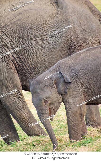 Sri Lankan Elephant, Elephas maximus maximus, Minneriya National Park, Sri Lanka, Asia