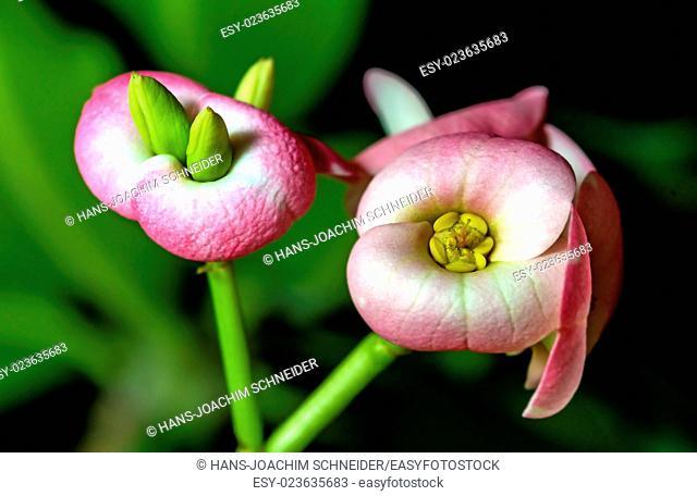 Christs thorn flower