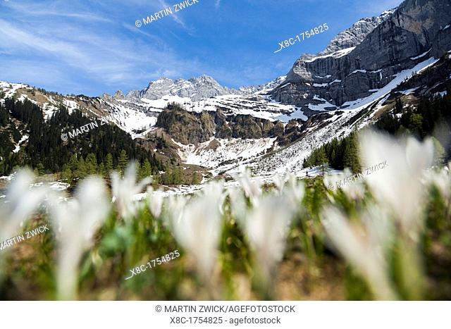 Spring Crocus Crocus vernus in the austrian alps in the Eng valley, Mt Lamssnspitze in the background The Eng valley is the most famous of all valleys in...