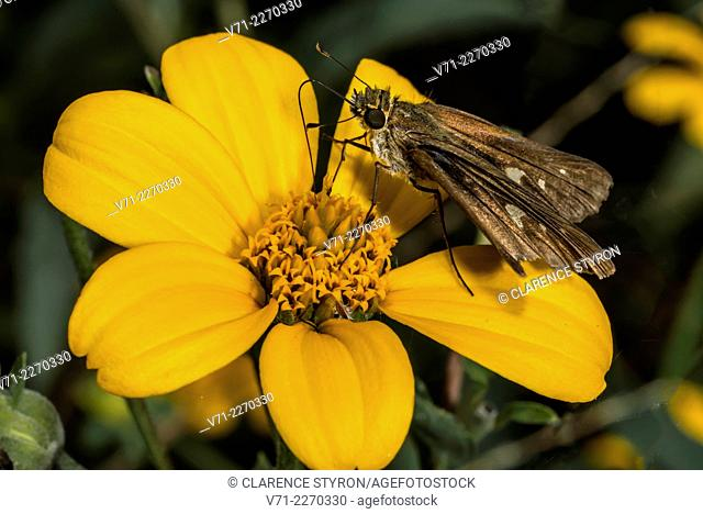 Little Glassywing Skipper Butterfly (Pompeius verna) Feeding on False Sunflower (Heliopsis helianthoides) Flower