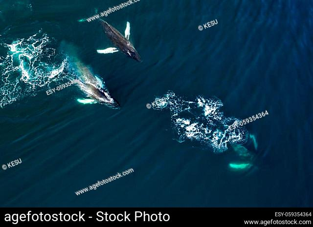 Aerial view of huge humpback whale, Iceland, Europe