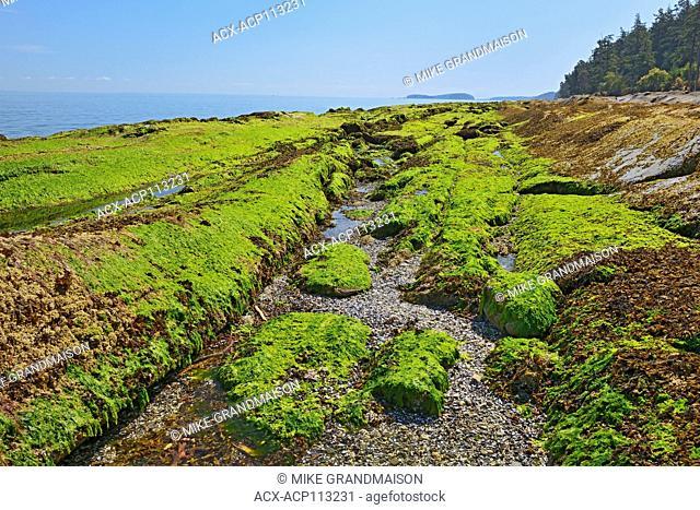 Seaweed covering rocks at low tide. Strait of Georgia. Gulf Islands, Saturna Island, British Columbia, Canada