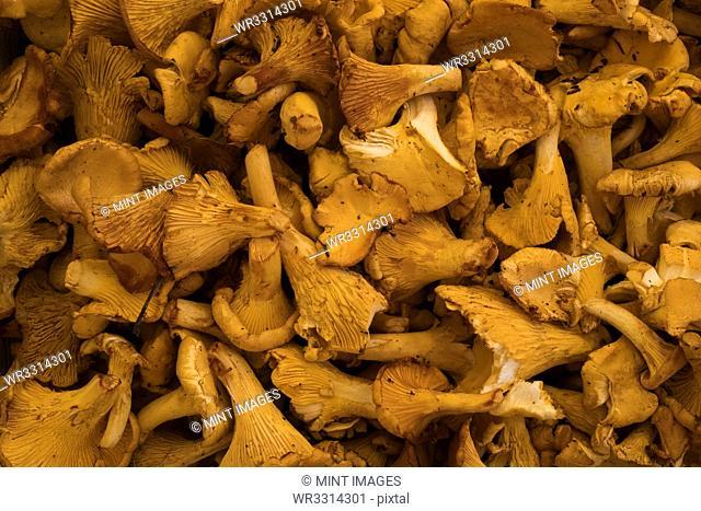 High angle close up of fresh Chanterelle mushrooms at a market stall