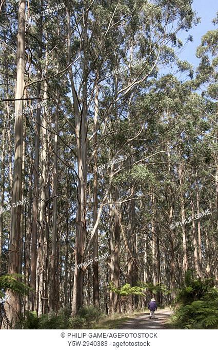 Mountain ash forest at Mt St Leonard, Yarra Ranges National Park, Toolangi, Victoria, Australia
