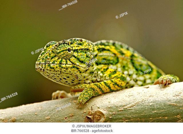 Jewelled Chameleon or Carpet Chameleon (Furcifer lateralis), male, Madagascar, Africa