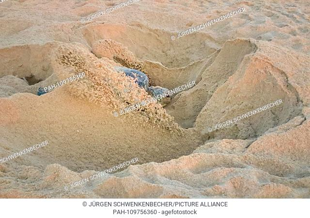 A Green Sea Turtle (Chelonia mydas) shovels sand with its hind fins into a nesting pit at dawn at a protected beach section near Ras al-Jinz (Oman)