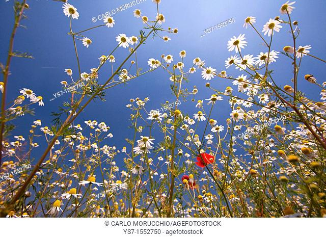 Daisy and poppies on a meadow on Padua hills, Italy, Europe