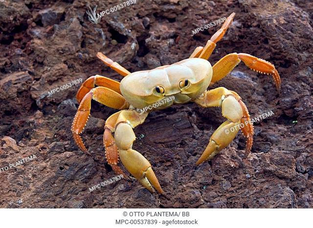 Land Crab (Johngarthia lagostoma), Ascension Island, South Atlantic