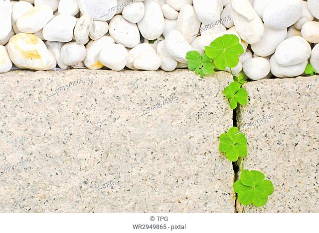 white pebble and newborn creeping oxalis leaf in Japanese garden