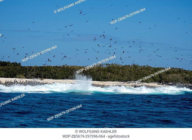 View of Iguana Island in Panama with Magnificent frigate birds (Fregata magnificens) flying over their nesting area on the island