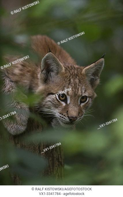 Eurasian Lynx / Eurasischer Luchs ( Lynx lynx ), playful cute cub, hidden in a bush, watches secretly through green foliage.