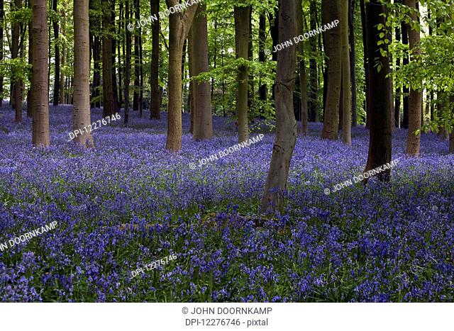 Shaft of sunlight in the bluebell woods; Northamptonshire, England