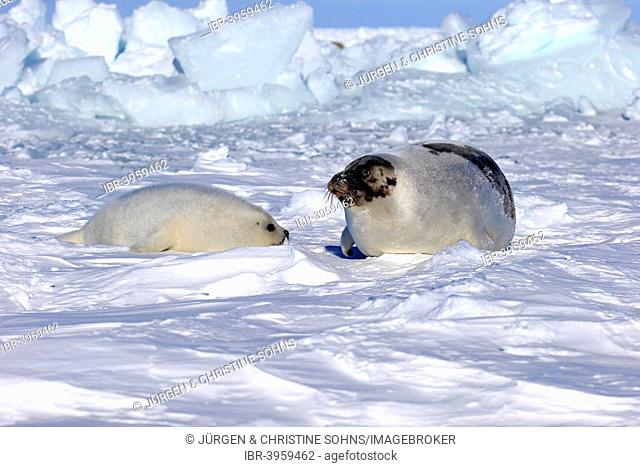 Harp Seal or Saddleback Seal (Pagophilus groenlandicus, Phoca groenlandica), adult female with pup on pack ice, Magdalen Islands, Gulf of Saint Lawrence, Quebec