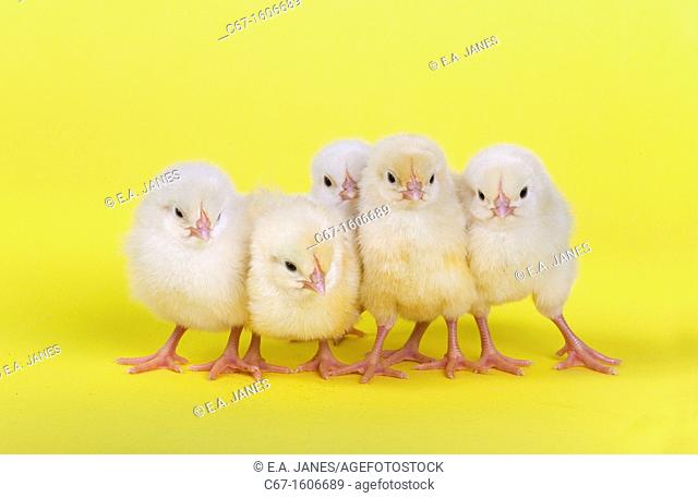 newly hatched Dayold Chicks in a row on yellow background