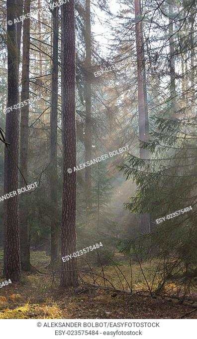 Autumnal morning in the forest with mist among pines and spruce trees, Bialowieza Forest, Poland