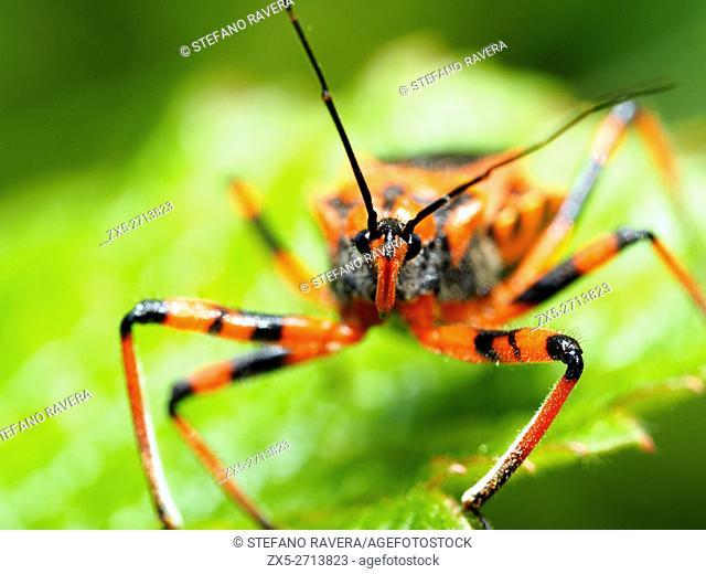 Assassin bug (Rhinocoris iracundus, fam. Reduviidae)