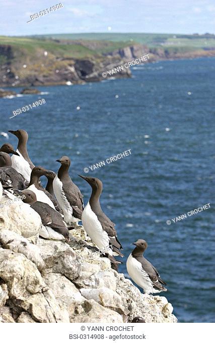 Common murre Common murres Uria aalge, Shetland Islands, Scotland. Uria aalge  Common murre  Guillemot  Alcid  Seabird  Bird