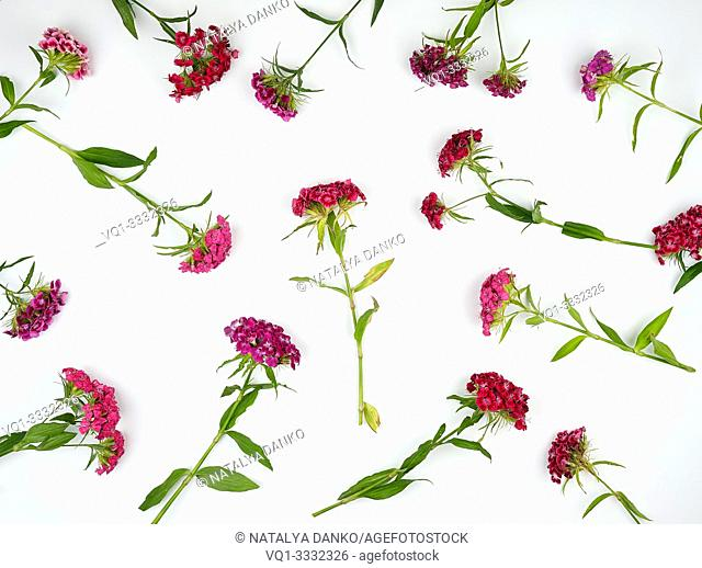 Buds blooming Turkish carnations Dianthus barbatus on a white background, fashionable concept, top view, flat lay