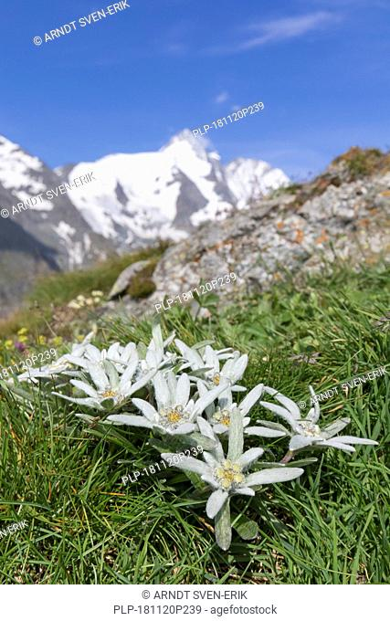 Edelweiss (Leontopodium nivale) in flower in front the mountain Grossglockner / Großglockner, Hohe Tauern NP, Austrian Alps, Carinthia, Austria