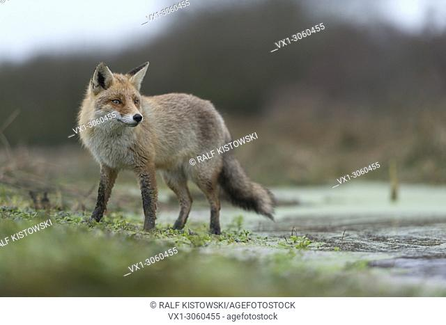 Red Fox / Rotfuchs ( Vulpes vulpes ) on a flooded pasture, standing close to the water, watching around attentively, in nice winter fur, wildlife, Europe