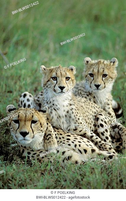 cheetah Acinonyx jubatus, mother with two cubs, huddling, Kenya, Masai Mara
