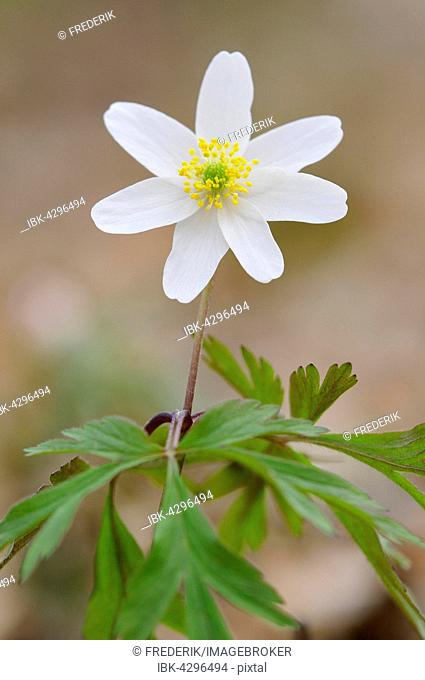 Windflower, also wood anemone or thimbleweed (Anemone nemorosa) flowering, North Rhine-Westphalia, Germany