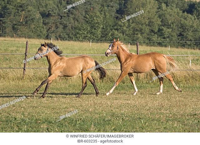 Oldenburg stallions galloping through meadow, Vulkaneifel, Germany, Europe