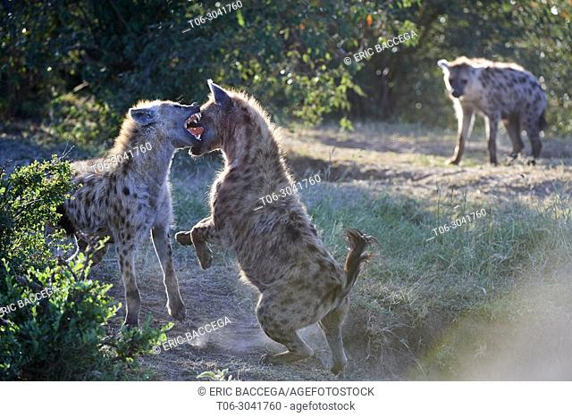 Spotted hyenas (Crocuta crocuta) fighting, Masai Mara National Reserve, Kenya, Africa