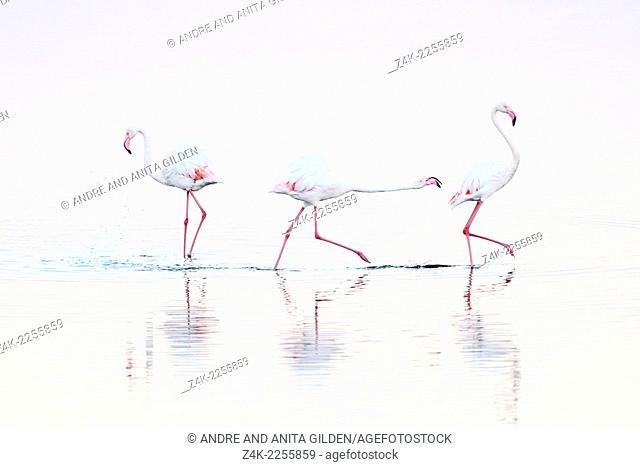 Greater Flamingo (Phoenicopterus roseus) chasing away rival ( Winner 2011; Grand Prix, Festival de l'Oiseau et de la Nature Baie de Somme)