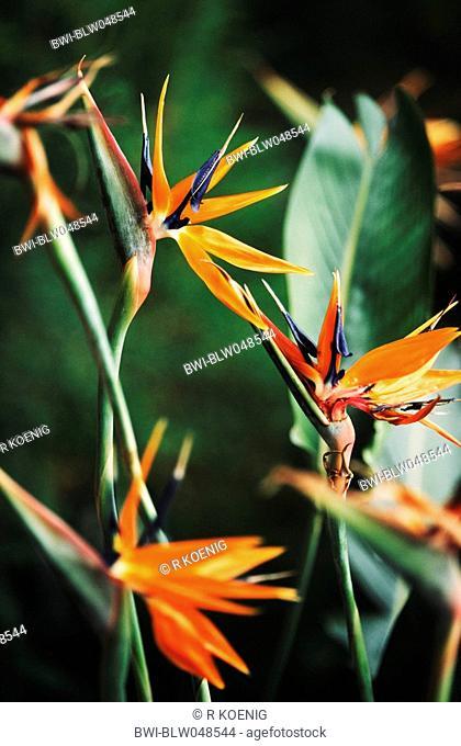 crane flower, bird of paradise flower, geel piesang Strelitzia reginae, blooming