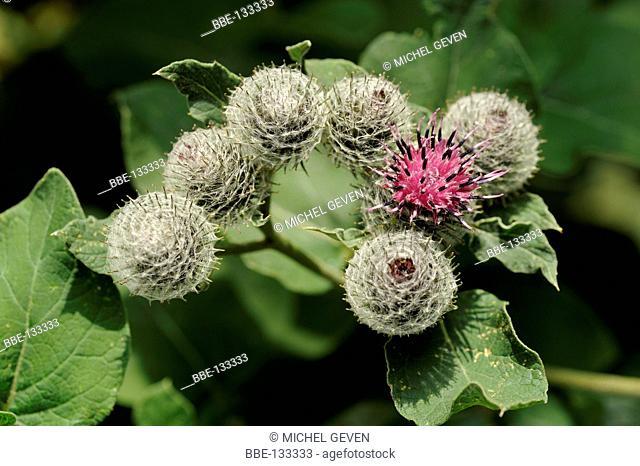Flowering inflorescence of Wooly burdock