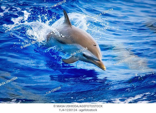 pantropical spotted dolphin, Stenella attenuata, baby jumping, Kona Coast, Big Island, Hawaii, USA, Pacific Ocean