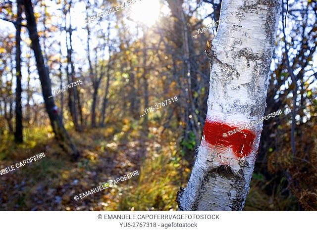 Birch with red mark trail
