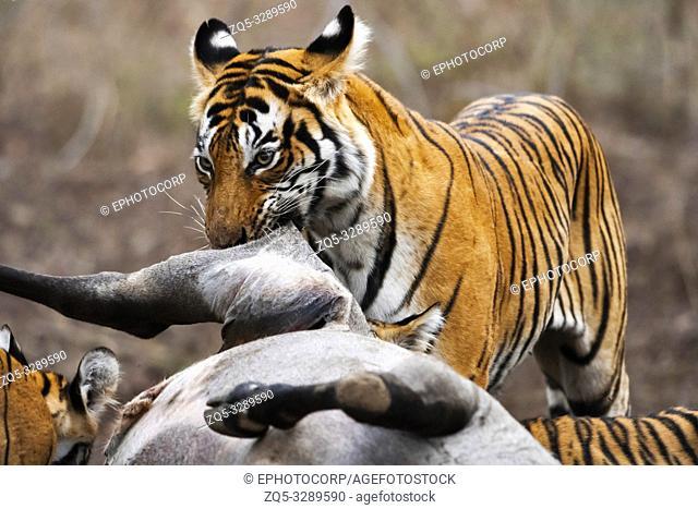 Tigers with kill, Panthera tigris, Ranthambore Tiger Reserve, Rajasthan, India