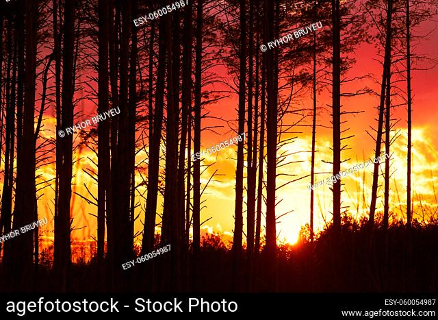 Sunset Sunrise In Pine Forest. Close View Of Dark Black Spruce Trunks Silhouettes In Natural Sunlight Of Bright Colorful Dramatic Sky
