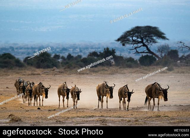 Blue wildebeest, also called the common wildebeest, white-bearded wildebeest or brindled gnu (Connochaetes taurinus). Amboseli National Park. Kenya