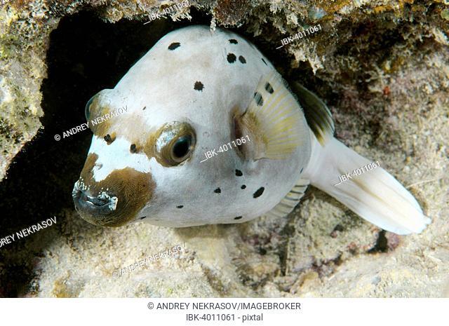 Blackspotted Puffer or Dog-faced Puffer (Arothron nigropunctatus), Bohol Sea, Cebu, Philippines