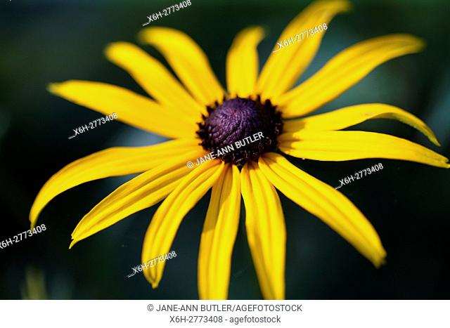 a fully open, feel good summer rudbeckia