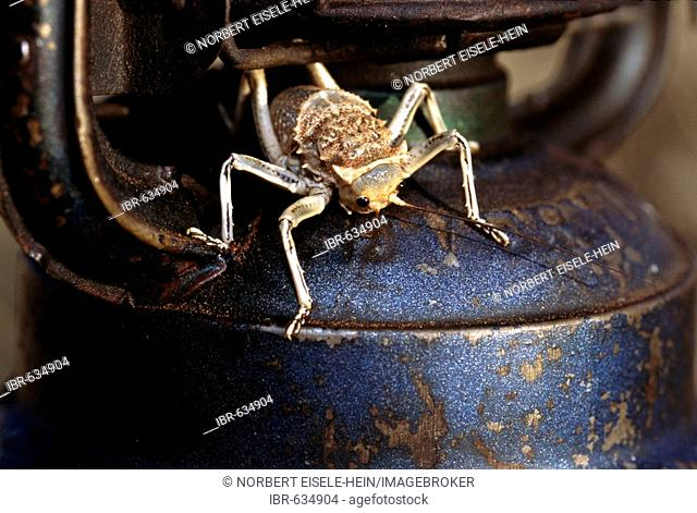 Locust perched on a lantern, Tok Tokkie Trail, NamibRand Nature Reserve, Namibia, Africa