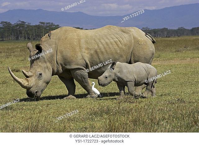 White Rhinoceros, ceratotherium simum, Female with Calf, Nakuru Park in Kenya