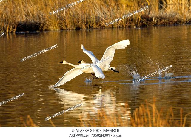 Trumpeter swans in flight over Potter Marsh with Autumn foliage in the background, Southcentral Alaska