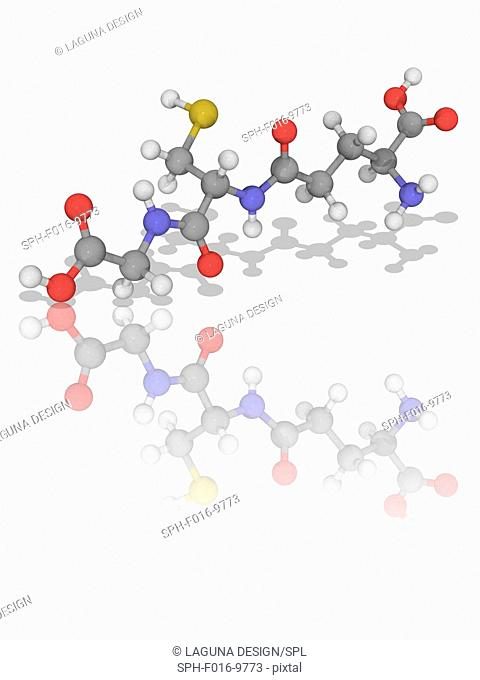 Glutathione. Molecular model of the peptide thiol and antioxidant chemical glutathione (C10.H17.N3.O6.S). This molecule prevents damage to important cellular...