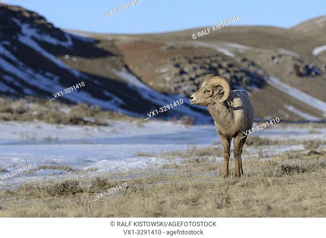 Rocky Mountain Bighorn Sheep / Dickhornschaf ( Ovis canadensis ), ram on a sunny day in winter, National Elk Refuge, Wyoming, USA